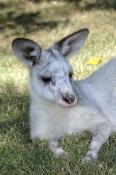 eastern-grey-kangaroo;macropus-giganteus;kangaroo;white-kangaroo;white-eastern-grey-kangaroo;white-g