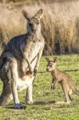 eastern-grey-kangaroo;macropus-giganteus;mother-kangaroo-with-joey;joey-kangaroo;grampians-national-