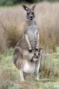eastern-grey-kangaroo;macropus-giganteus;mother-kangaroo-with-joey-in-pouch;grampians-national-park;