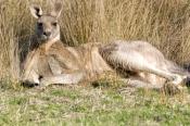 male-eastern-grey-kangaroo;macropus-giganteus;kangaroo-lying-down;grampians-national-park;kangaroo;m