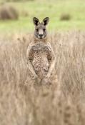 male-eastern-grey-kangaroo;macropus-giganteus;male-kangaroo-standing;grampians-national-park;steven-