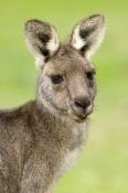 portrait-female-eastern-grey-kangaroo;macropus-giganteus;grampians-national-park;kangaroo-head-portr