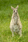 Gariwerd;eastern-gray-kangaroo;burrs-stuck-in-animal's-fur