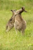 Gariwerd;eastern-gray-kangaroo;kangaroos-playing