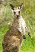 eastern-grey-kangaroo;kangaroo;macropus-giganteus;buchan-caves;buchan-caves-reserve;victoria-reserve