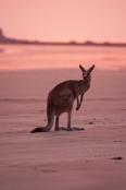 eastern-grey-kangaroo;gray-kangaroo;macropus-giganteus;cape-hillsborough-national-park