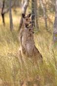eastern-grey-kangaroo;macropus-giganteus;kangaroo-standing;male-and-female-eastern-grey-kangaroo;pai