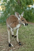 red-kangaroo-picture;red-kangaroo;kangaroo;macropus-rufus;female-kangaroo;female-red-kangaroo;large-
