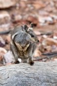 black-footed-rock-wallaby-picture;black-flanked-rock-wallaby-picture;black-footed-rock-wallaby;black
