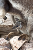 black-footed-rock-wallaby-joey-picture;black-flanked-rock-wallaby-joey-picture;black-footed-rock-wal