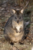 rufous-bellied-pademelon-picture;rufous-bellied-pademelon;tasmanian-pademelon;red-bellied-pademelon;