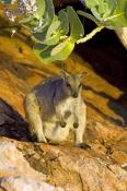 short-eared-rock-wallaby-picture;short-eared-rock-wallaby;short-eared-rock-wallaby;rock-wallaby;wall
