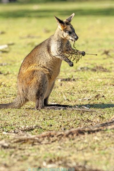 swamp wallaby;black wallaby;wallabia bicolor;australian wallabies;australian marsupial