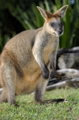 parma-wallaby-picture;parma-wallaby;white-throated-wallaby;white-throated-wallaby;macropus-parma;wal