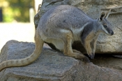 yellow-footed-rock-wallaby-picture;yellow-footed-rock-wallaby;yellow-footed-rock-wallaby;petrogale-x