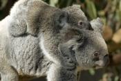 Koalas in Wildlife Parks