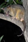 common-brushtail-possum-picture;common-brushtail-possum;brushtail-possum;brushtail-possum-subspecies