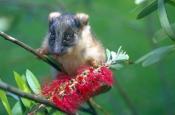 ringtail-possum-picture;ringtail-possum;ring-tail-possum;baby-ringtail-possum;baby-possum;orphaned-p