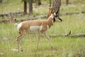 pronghorn-picture;pronghorn;prong-buck;pronghorn-antelope;antilocapra-americana;pronghorn-at-custer-