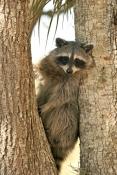 raccoon-picture;southern-raccoon;raccoon;procyon-lotor;raccoon-in-tree;raccoon-looking-at-camera;rac