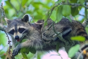 raccoon-picture;southern-raccoon;raccoon;procyon-lotor;raccoon-panting;raccoon-drooling;raccoon-in-t