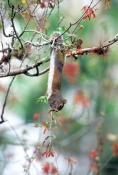 eastern-gray-squirrel-picture;gray-squirrel;grey-squirrel;squirrel;Sciurus-carolinensis;corkscrew-sw
