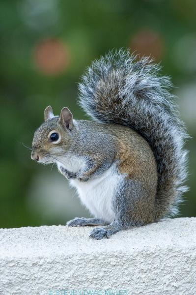 grey squirrel;gray squirrel;tree squirrel