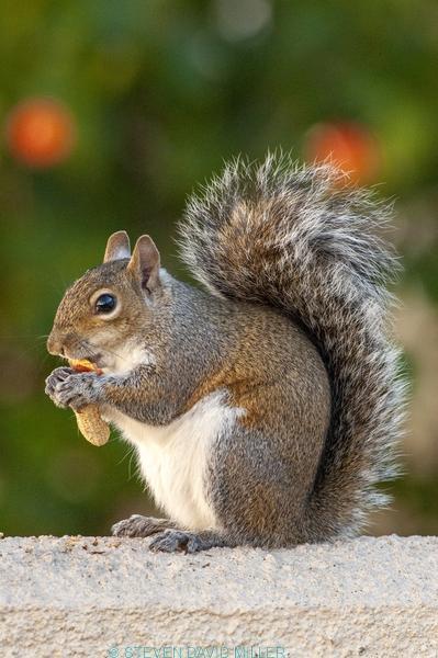 grey squirrel;gray squirrel;tree squirrel