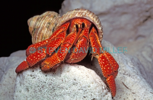 hermit crab picture;hermit crab picture;marine hermit crab;hermit crab;hermit crab;hermit crab in shell;marine hermit crab in shell;lady elliot island;great barrier reef