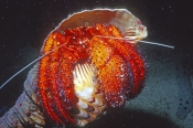 red-face-hermit-crab-picture;hermit-crab-picture;marine-hermit-crab;red-face-hermit-crab;red-face-he