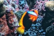 black-anemonefish;anemonefish-picture;anemonefish;anemone-fish;amphiprion-melanopus;lady-elliot-isla