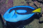 bluetang-fish;bluetang-fish-picture;blue-tang;indo-pacific-bluetang;palette-surgeonfish;surgeonfish;