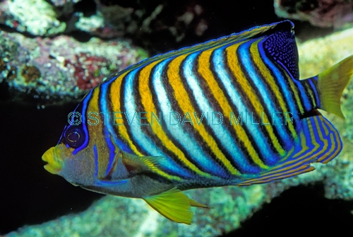 angelfish picture;angelfish;angel fish;pygoplites diacanthus;family pomacanthidae;great barrier reef;colorful fish;colourful fish