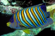 angelfish-picture;angelfish;angel-fish;pygoplites-diacanthus;family-pomacanthidae;great-barrier-reef
