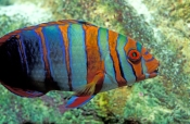 harlequin-tuskfish;tuskfish;tusk-fish;wrasse;lady-elliot-island;great-barrier-reef;colourful-fish;co