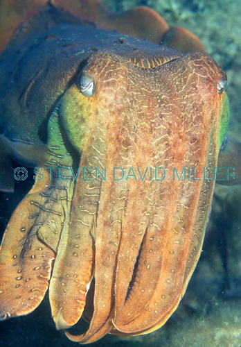 australian giant cuttlefish picture;australian giant cuttlefish;giant cuttlefish;australian cuttlefish;upper spencer gulf;whyalla;the whyalla aggregation;upper spencer gulf cuttlefish aggregation;the whyalla cuttlefish aggregation;diving with cuttlefish;the eyre peninsula;south australia;chromatophores;steven david miller