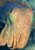 australian-giant-cuttlefish-picture;australian-giant-cuttlefish;giant-cuttlefish;australian-cuttlefi