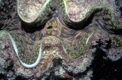 clam;tridacna-clam;marine-bivalve-mollusk;marine-mollusk;lizard-island;island;great-barrier-reef;cor