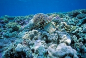 giant-triton-shell;triton-shell;tritan-shells;coral-reef;great-barrier-reef;lady-musgrave-island;tri