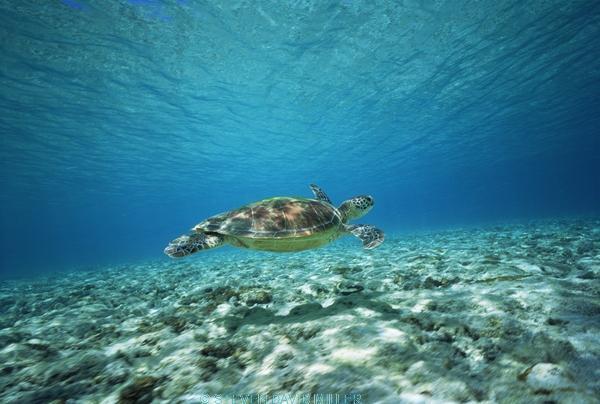 AUSTRALIA;CHELONIA;COASTAL-WATERS;CORAL-REEFS;ENDANGERED;MARINE;PACIFIC-OCEAN;REPTILES;SEA-TURTLES;SWIMMING;TROPICAL;TURTLES;UNDERWATER