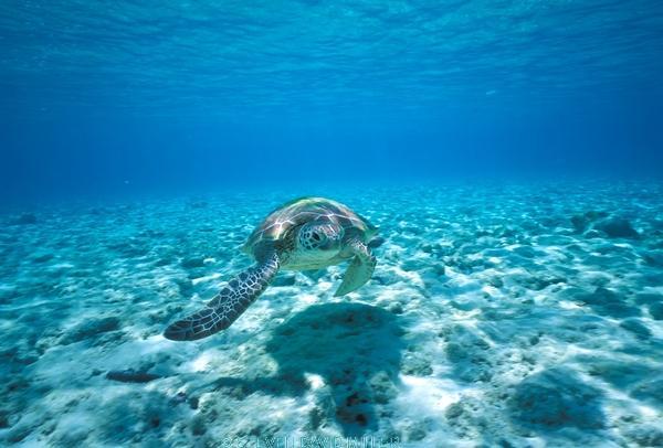 green turtle;sea turtle picture;sea turtle;green turtle swimmin;green turtle in the water;sea turtle swimming;sea turtle in water;lady musgrave island;great barrier reef;marine turtle;hard shelled sea turtle