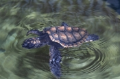 loggerhead-turtle-hatchling
