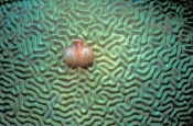 brain-coral;hard-coral;christmas-tree-worm;upper-florida-keys;florida-keys-marine-sanctuary;Spirobra