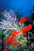 tube-sponge;branching-tube-sponge;red-branching-tube-sponge;red-tube-sponge;florida-keys-coral-reef;