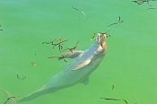 dolphin;bottlenose-dolphin;indo-pacific-bottlenose-dolphin;tursips-aduncus;monkey-mia;monkey-mia-dol