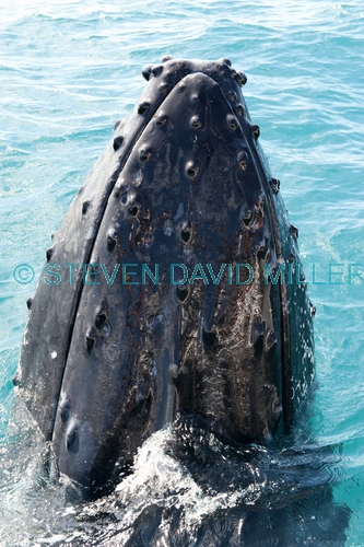 humpback whale;megaptera novaeangliae;humpback whale spyhopping;humpback whale top of head;humpback whale tubercles;hervey bay;queensland;whale watching;hervey bay whale watching;hervey bay whale watching