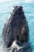 humpback-whale;megaptera-novaeangliae;humpback-whale-spyhopping;humpback-whale-top-of-head;humpback-