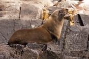 australian-fur-seal;fur-seal;seal;wild-seal;Arctocephalus-pusillus-doriferus;arctocephalus-pusillus;