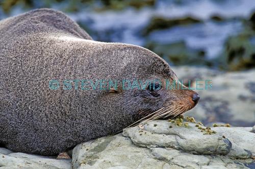 new zealand fur seal;fur seal;seal;new zealand seal;Arctocephalus forsteri;kaikoura;kaikoura seal colony;new zealand fur seal colony at kaikoura;marine mammal;new zealand marine mammal