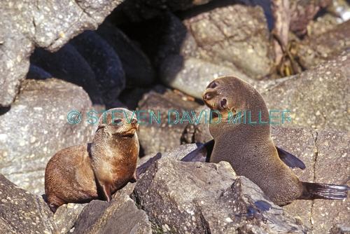 new zealand fur seal picture;new zealand fur seal;fur seal;arctocephalus forsteri;fur seal looking in camera;new zealand seal;cape foulwind fur seals;westport;marine mammals;south island;new zealand;steven david miller